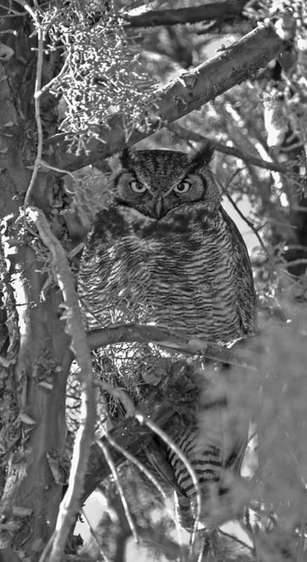 Great Horned Owl Poster featuring the photograph Hootie Owl by Bill Hyde