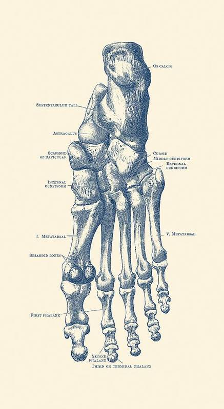 Left Foot Skeletal Diagram Vintage Anatomy Poster Poster By