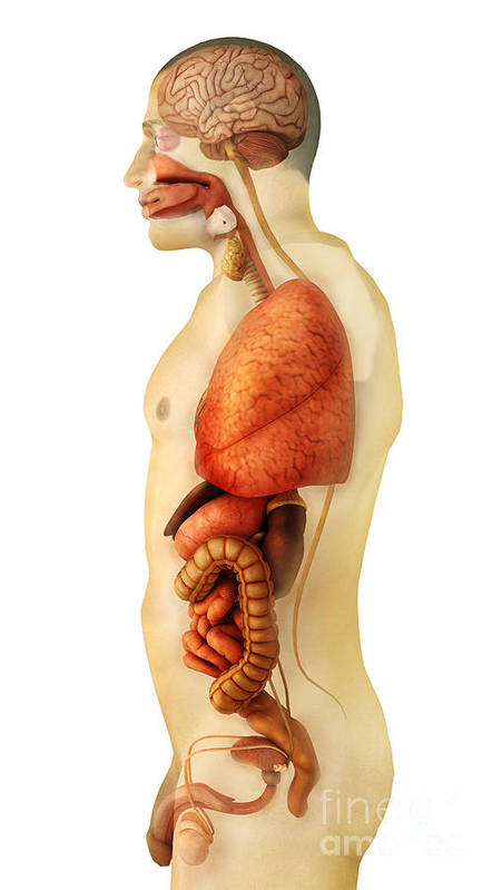 Vertical Poster featuring the digital art Anatomy Of Human Body Showing Whole by Stocktrek Images