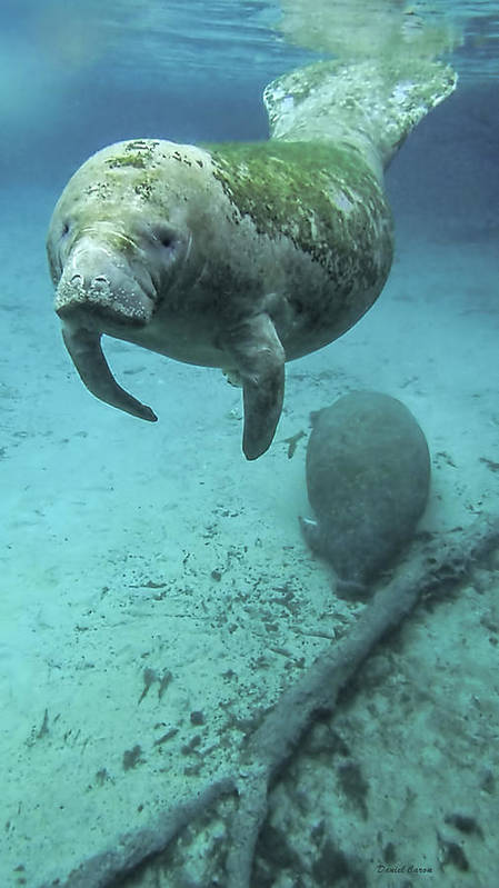 Manatee Poster featuring the photograph Curious Manatee by Daniel Caron