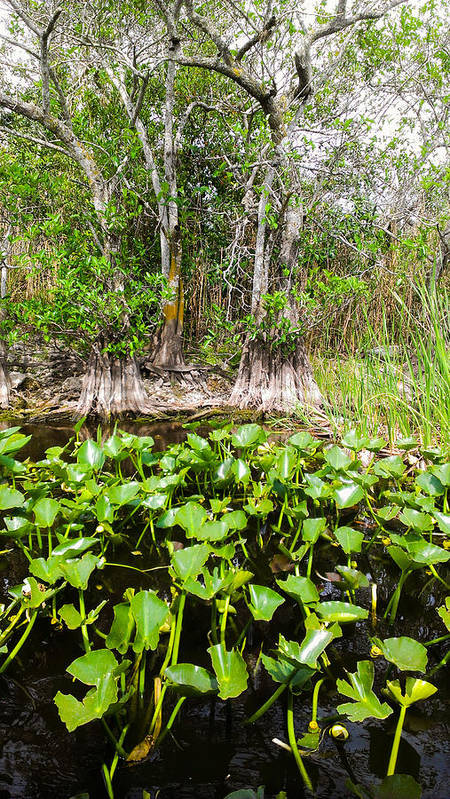 Florida Everglades Poster featuring the photograph Florida Everglades by Zech Browning