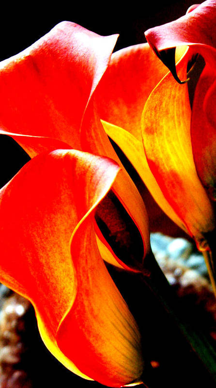 Calla Lily Poster featuring the photograph Harmony by Penelope Stephensen