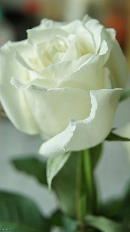 Poster featuring the photograph Rose For You by Gornganogphatchara Kalapun