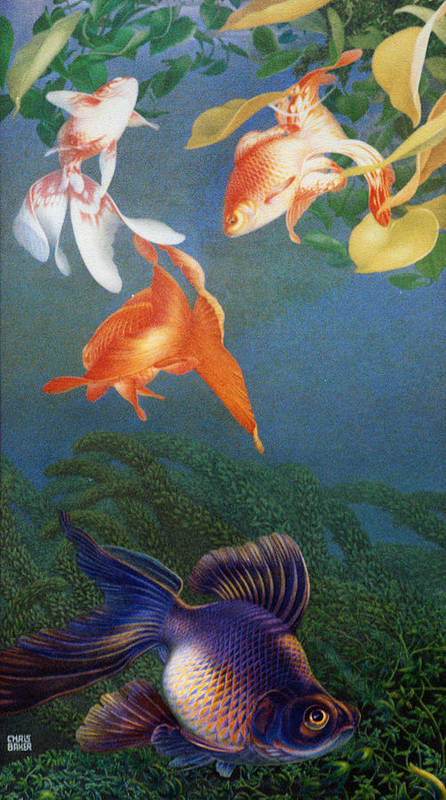 Fish Poster featuring the painting Black Moor by Chris Baker