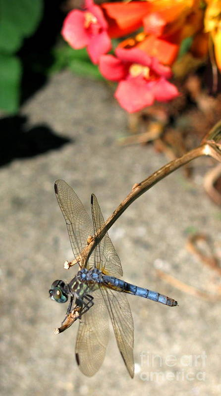 Dragonfly Poster featuring the photograph Dragonfly Black-tailed Skimmer by Colleen Kammerer