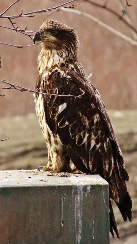 Juvenile Eagle Poster featuring the photograph Juvenile Eagle by Lori Mahaffey