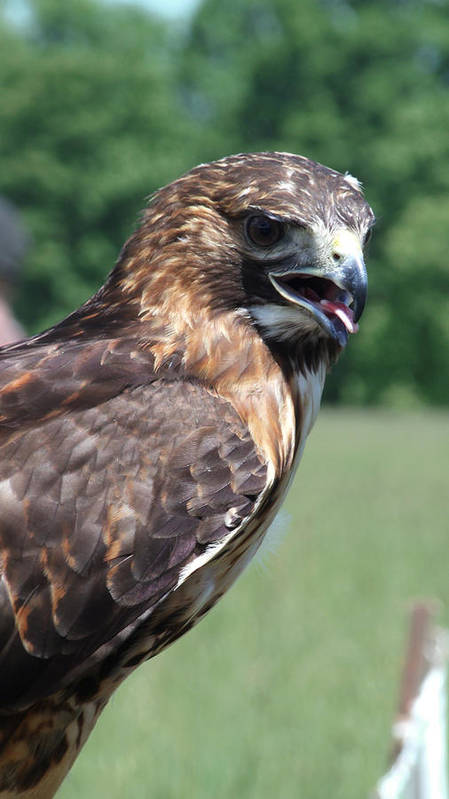 Red Tail Hawk Poster featuring the photograph Red Tail by Sam Guyton