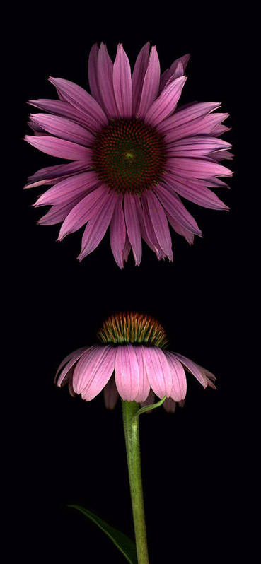 Scanography Poster featuring the photograph Cone Flowers by Deborah J Humphries