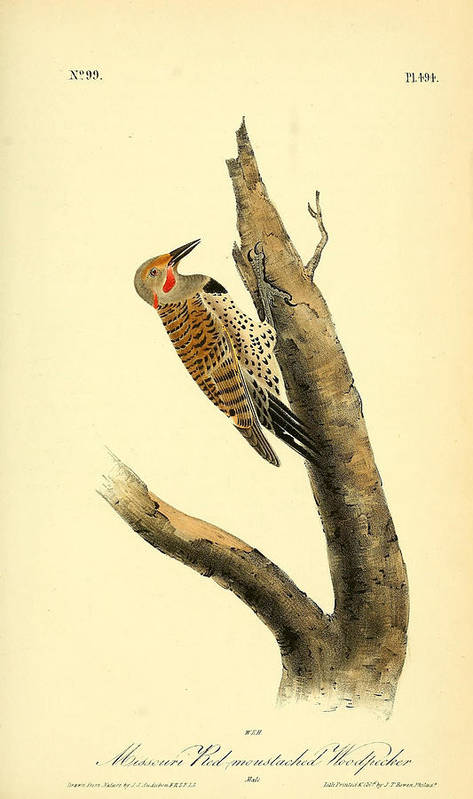 Audubon Poster featuring the painting A Red Moustached Woodpecker by Philip Ralley