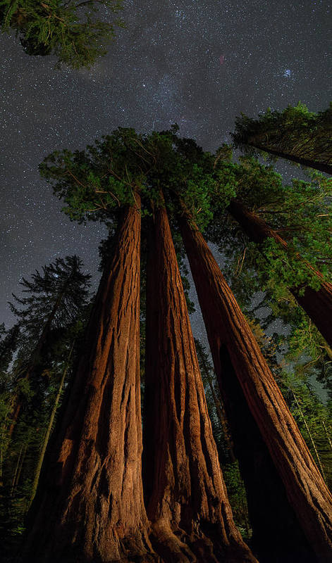 Kings Canyon National Park Poster featuring the photograph Night View Of Giant Sequoia Trees by Babak Tafreshi