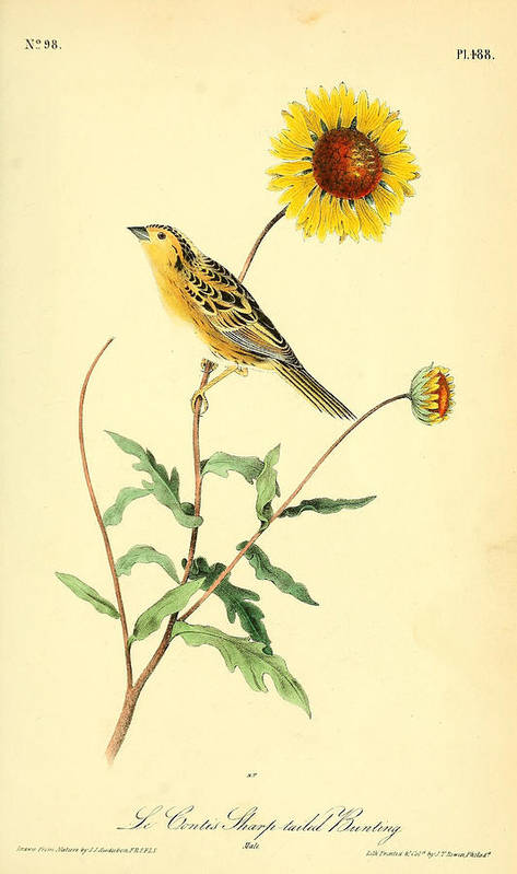 Audubon Poster featuring the painting Sharp-tailed Bunting by Philip Ralley