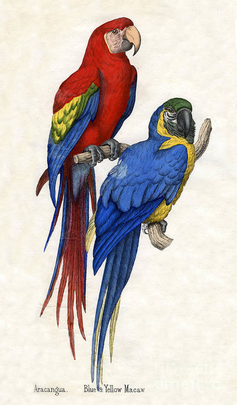 Macaw Poster featuring the drawing Aracangua And Blue And Yellow Macaw by American School