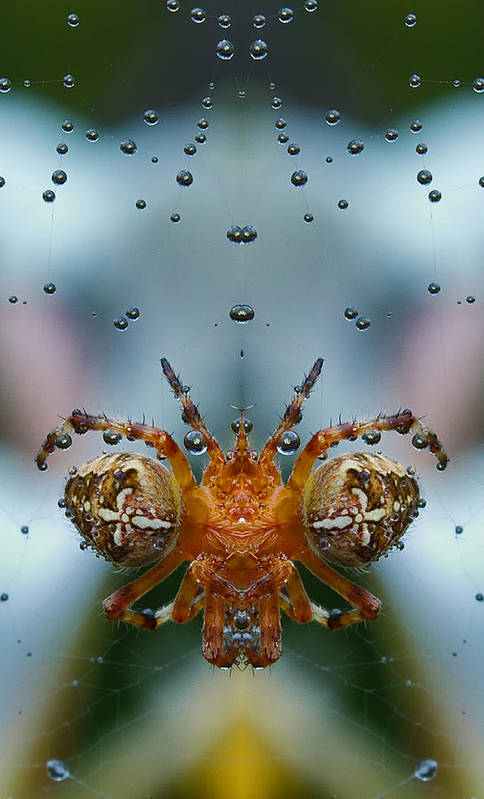 Spider Poster featuring the photograph Double Spider by Jean Noren