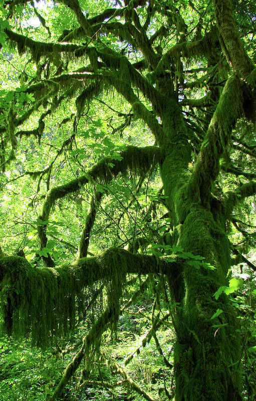 Trees Poster featuring the photograph Mossy Tree by Athena Mckinzie