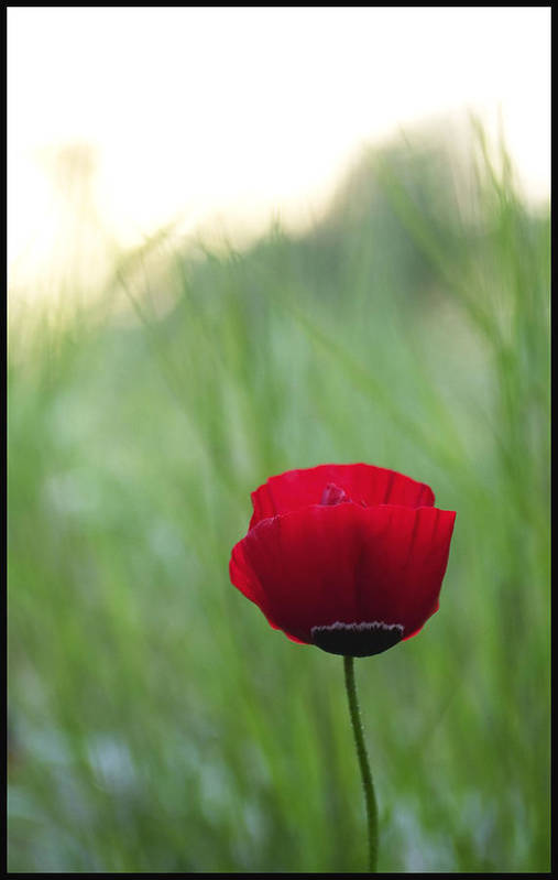 Flower Poster featuring the photograph Sunset Poppy by Julia Bridget Hayes
