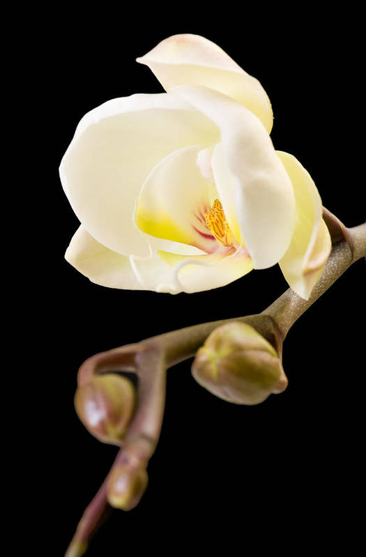 White Orchid Poster featuring the digital art Orchid by Ilze Lucero