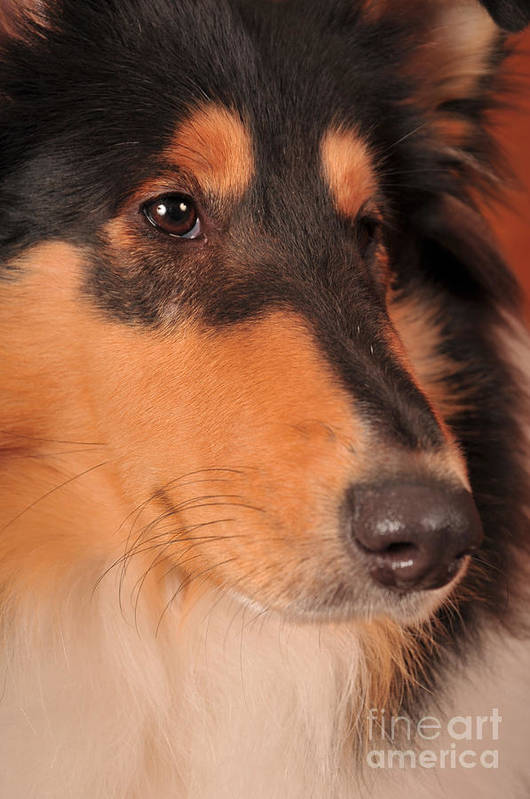 Collie Poster featuring the photograph Dog Portrait by Randi Grace Nilsberg