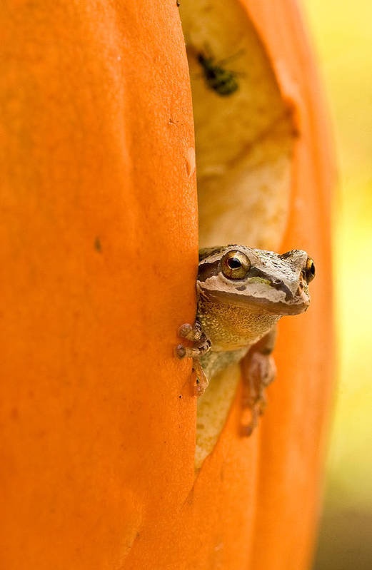 Frog Poster featuring the photograph Halloween Surprise by Jean Noren
