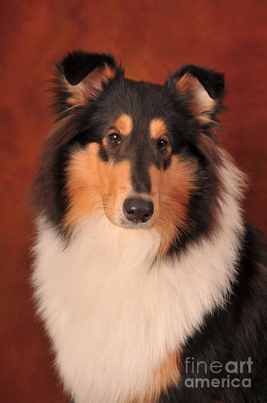 Collie Poster featuring the photograph Karma 1 by Randi Grace Nilsberg