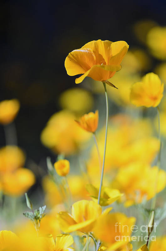Poppies Poster featuring the photograph Mexican Gold Poppies by Tamara Becker