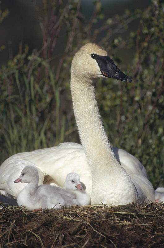 Feb0514 Poster featuring the photograph Trumpeter Swan On Nest With Chicks by Michael Quinton