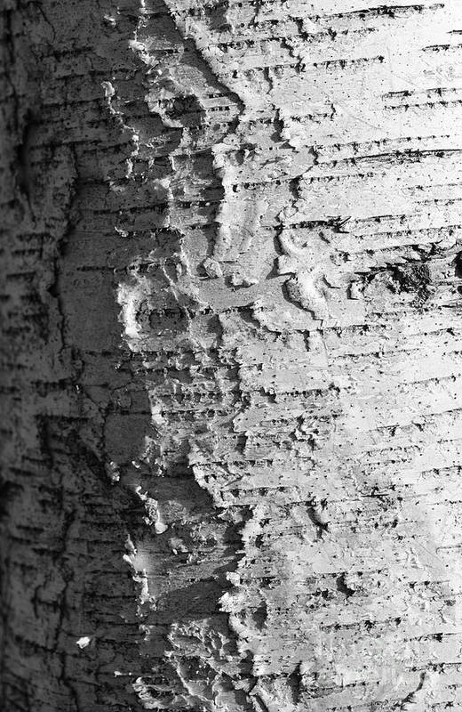 Birch Poster featuring the photograph Weathered by Luke Moore