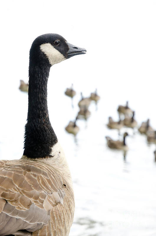 Geese Poster featuring the photograph Canada Geese Goose With Wetlands Birds And Waterfowl by Andy Smy