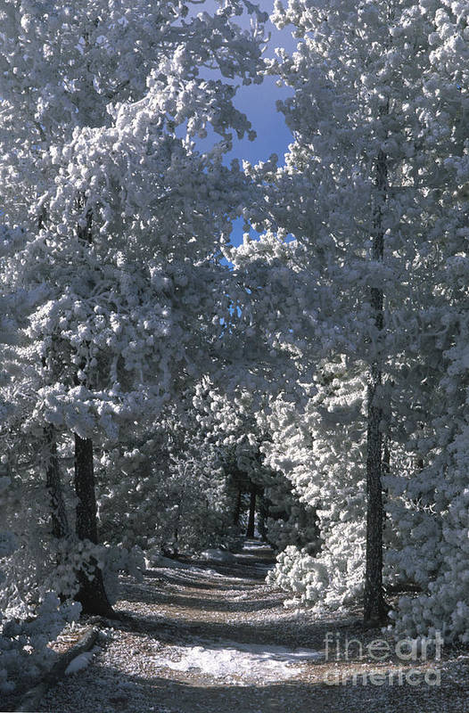 Yellowstone National Park Poster featuring the photograph Winter Pathway by Sandra Bronstein