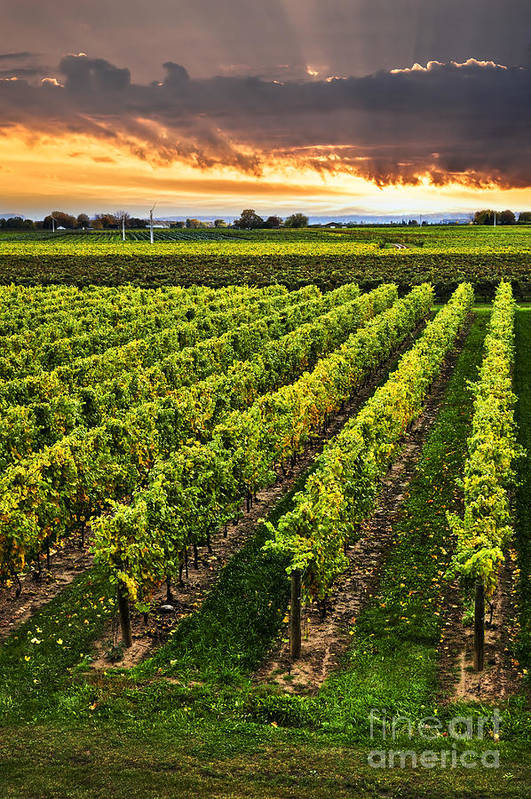 Vineyard Poster featuring the photograph Vineyard At Sunset by Elena Elisseeva