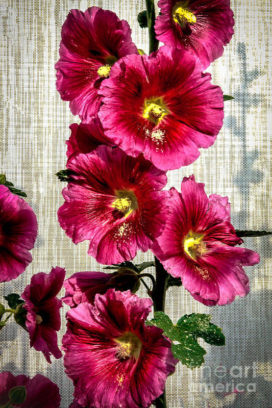 Alcea Rosea Poster featuring the photograph Beautiful Red Hollyhock by Robert Bales