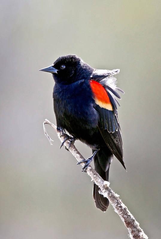 Black Bird Poster featuring the photograph Black Bird by Athena Mckinzie