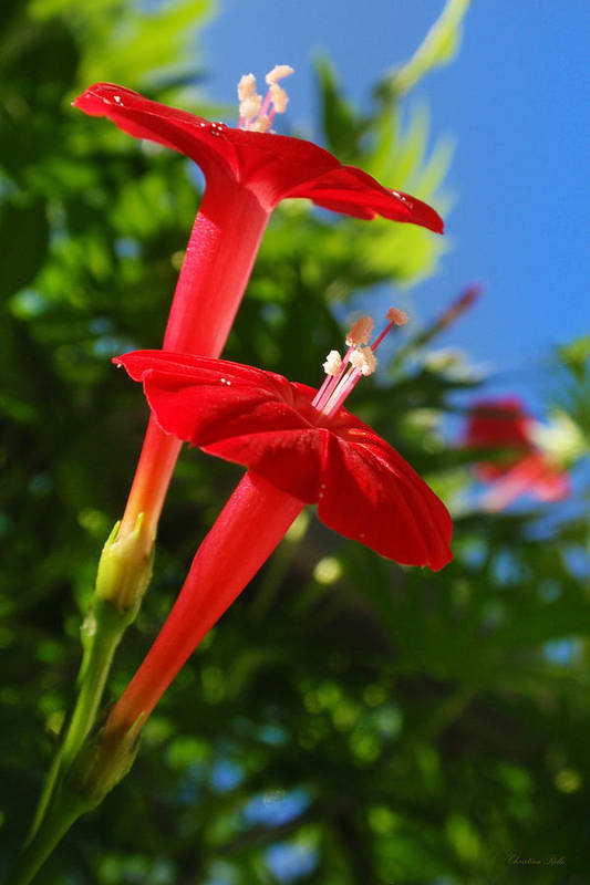 Red Flower Poster featuring the photograph Cardinal Climber Flowers by Christina Rollo