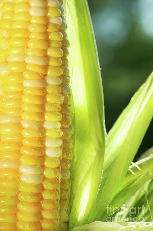 Agricultural Poster featuring the photograph Close-up Of Corn An Ear Of Corn by Sandra Cunningham