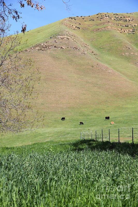Bayarea Poster featuring the photograph Cows Along The Rolling Hills Landscape Of The Black Diamond Mines In Antioch California 5d22319 by Wingsdomain Art and Photography