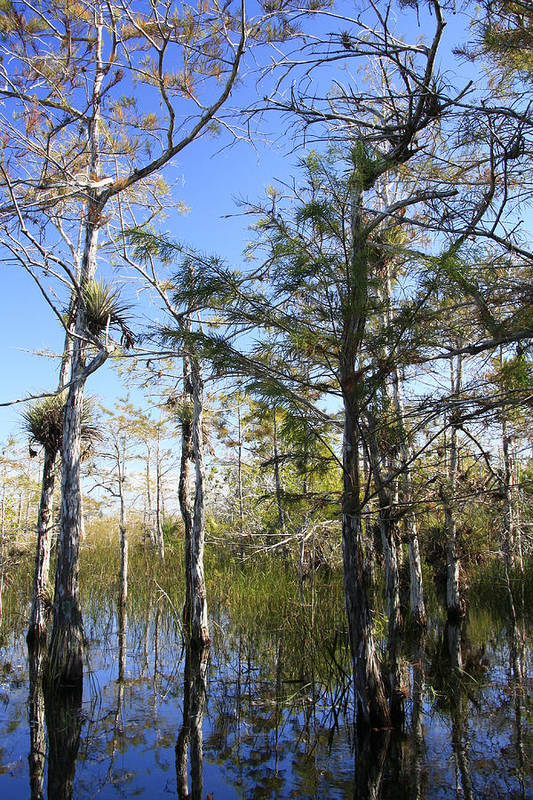 Beautiful Poster featuring the photograph Cypress Swamp by Rudy Umans