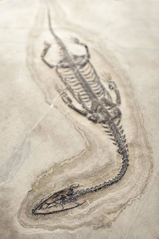 Aquatic Poster featuring the photograph Extinct Triassic Reptile by Science Photo Library