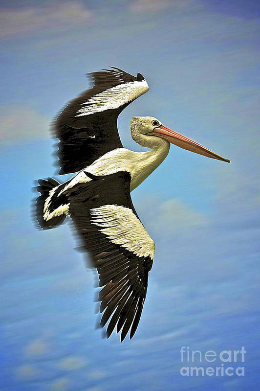 Pelican Poster featuring the photograph Flying Pelican 4 by Heng Tan