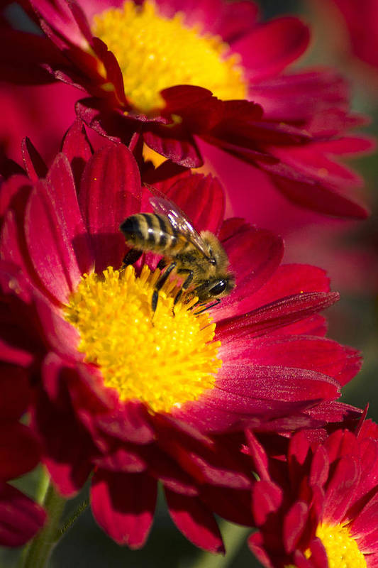 Honey Bee Poster featuring the photograph Honey Bee And Chrysanthemum by Christina Rollo