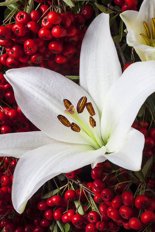 White Lily Poster featuring the photograph lily and Pyracantha by Garry Gay