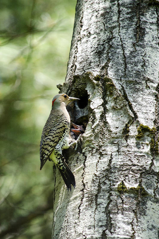 Woodpeckers Poster featuring the photograph Northern Flicker Nest by Christina Rollo