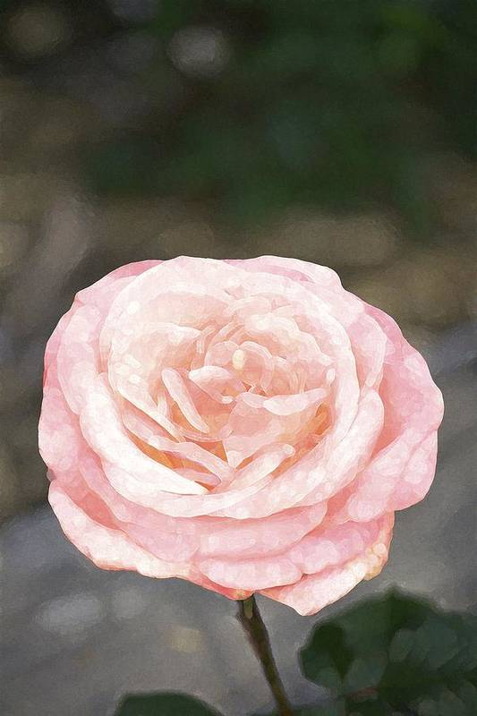 Floral Poster featuring the photograph Rose 195 by Pamela Cooper
