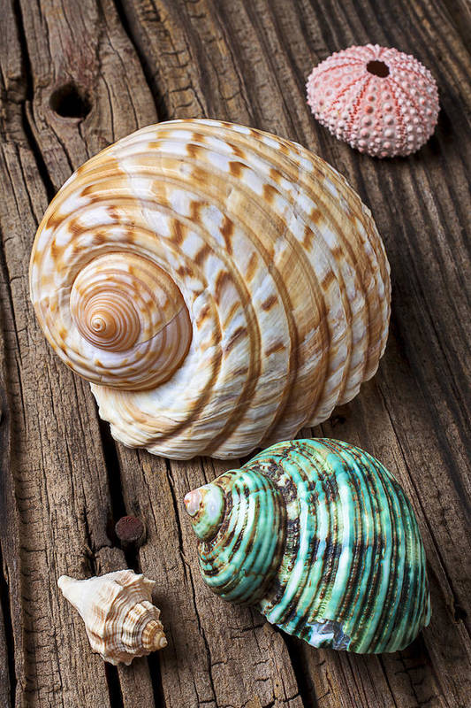 Sea Shell Poster featuring the photograph Sea Shells With Urchin by Garry Gay