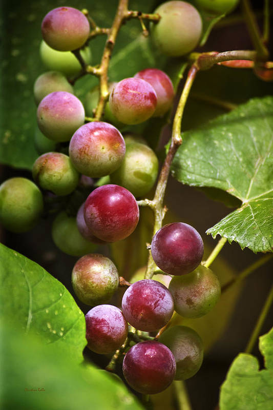 Wine Poster featuring the photograph Sweet Grapes by Christina Rollo