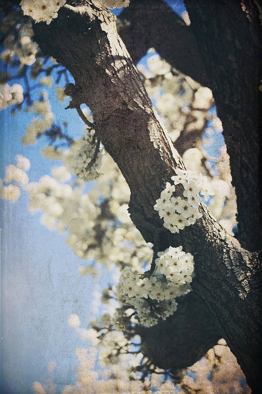 Blossoms Poster featuring the photograph That March by Laurie Search