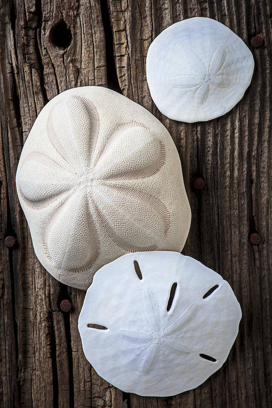 Sand Dollars Poster featuring the photograph Three Types Of Sand Dollars by Garry Gay