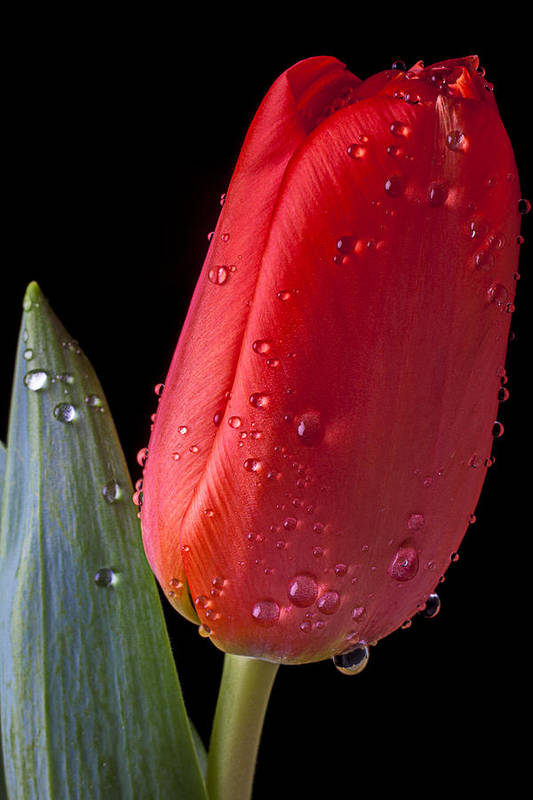Orange Poster featuring the photograph Tulip Close Up by Garry Gay