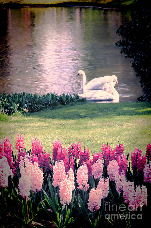 Swans Poster featuring the photograph Two Swans by Jasna Buncic
