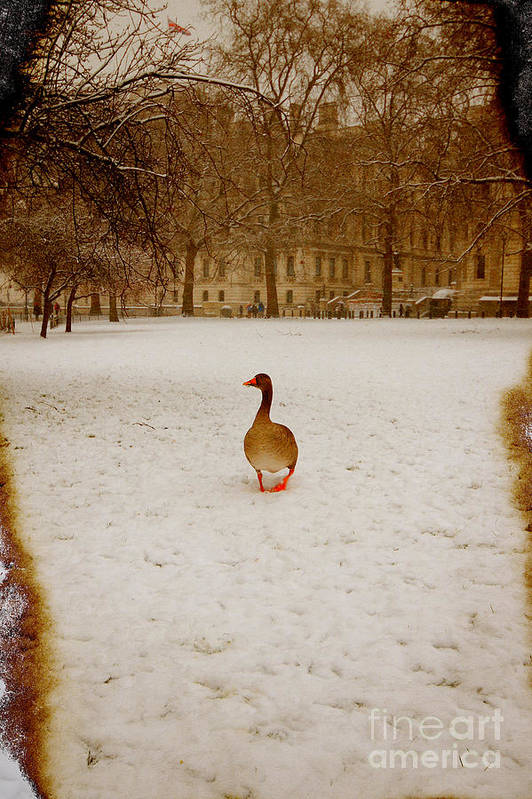 Goose Poster featuring the photograph Where Is Everyone by Jasna Buncic