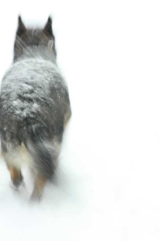 Dog Poster featuring the photograph Winter Traveler by Karol Livote
