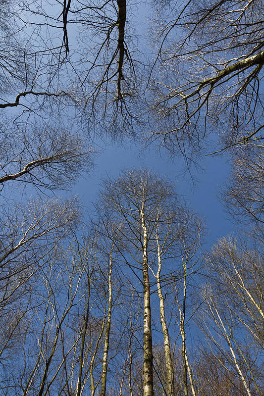 Tree Poster featuring the photograph Trees In Epping Forest by David Pyatt